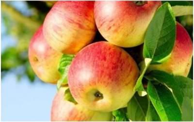Украина экспортировала рекордный объем яблок
