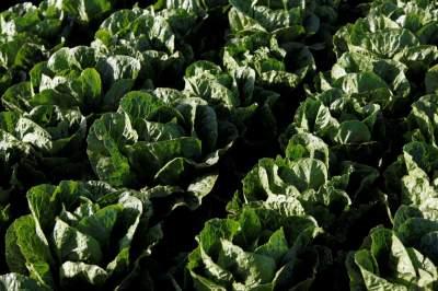 В Украину пытались ввезти зараженный салат из Польши